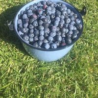 blueberries in a bucket