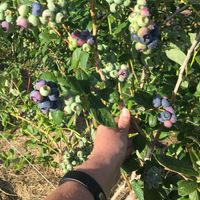 blueberries growing on the vine