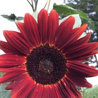 a red sunflower